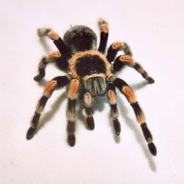 red_knee_tarantula
