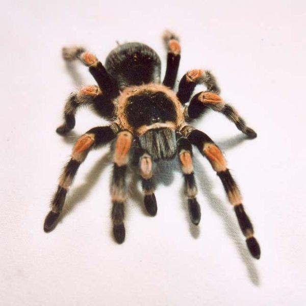 red_knee_tarantula